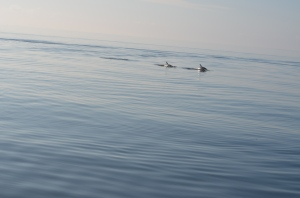 Dolphins in the Neuse River near Oriental